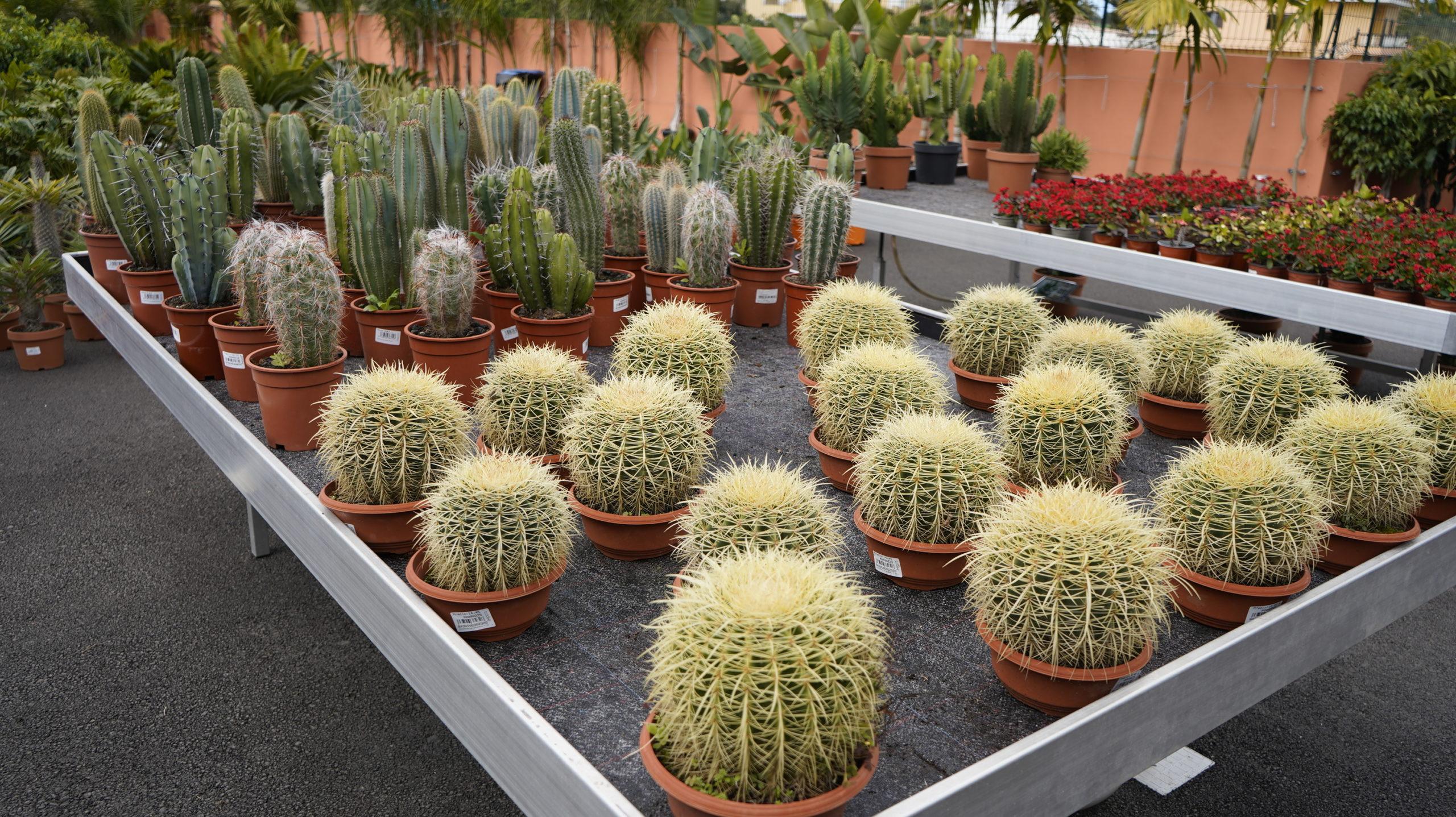 Roots Cactus 01