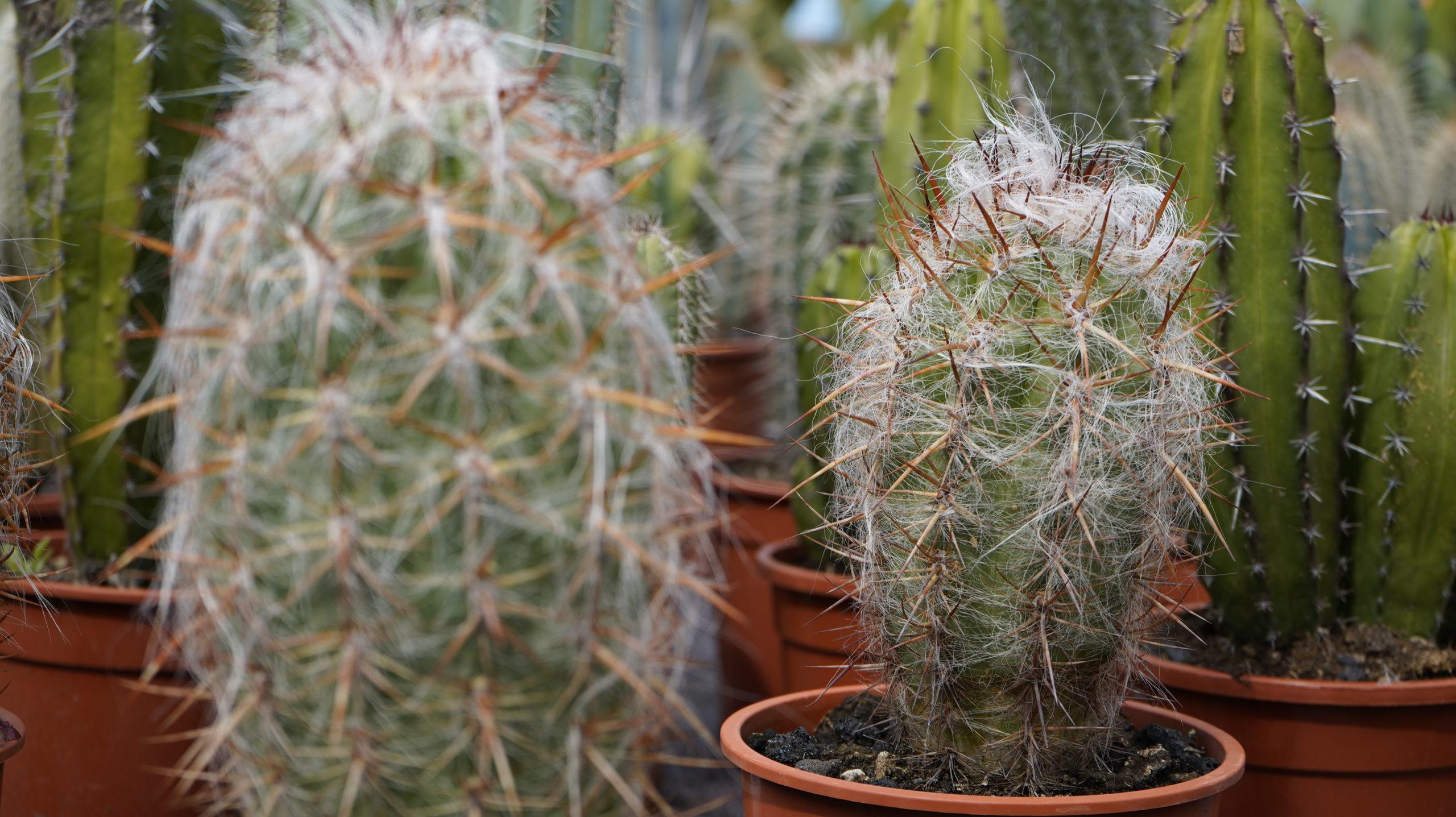 Roots Cactus 03