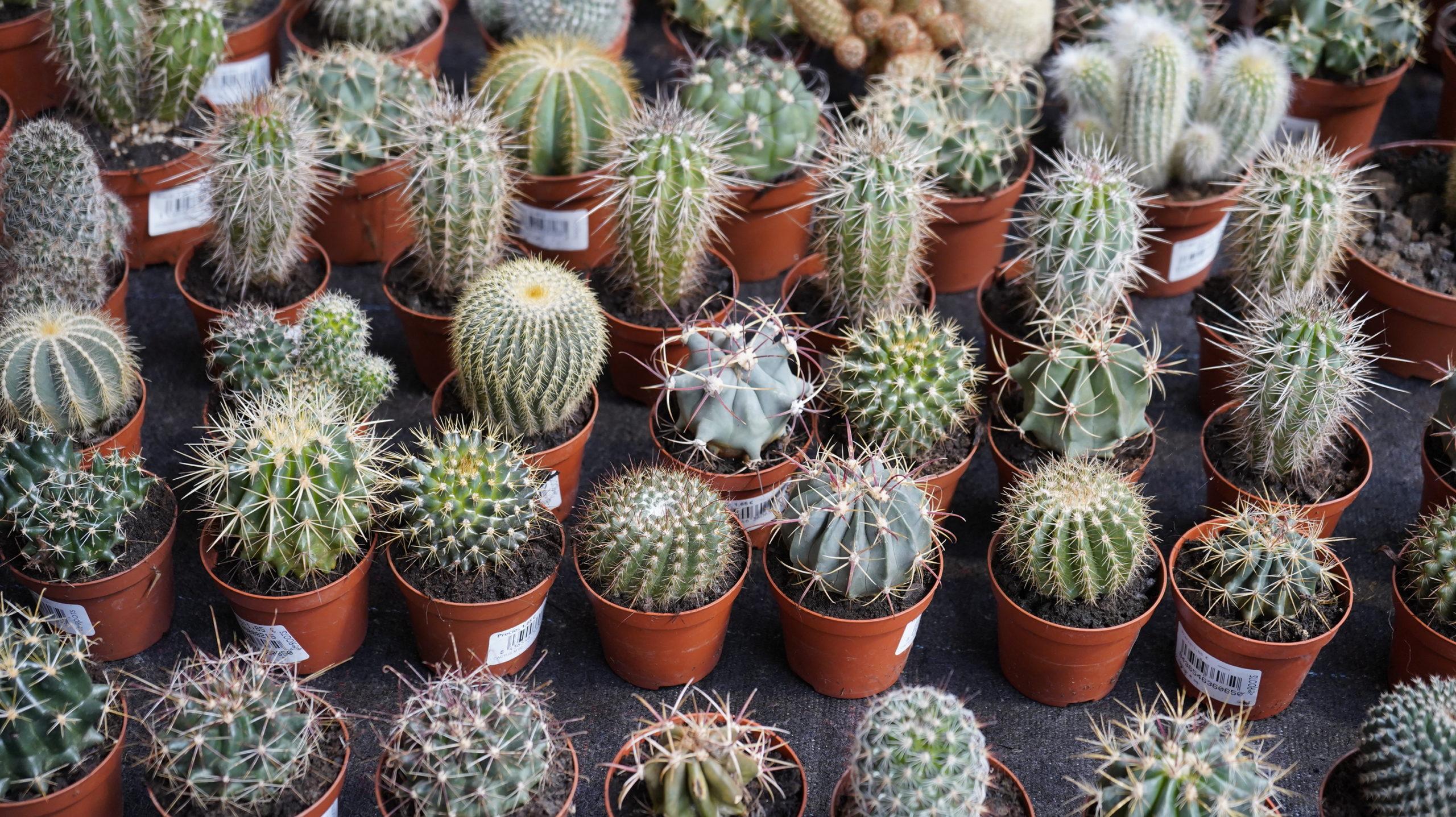 Roots Cactus 07